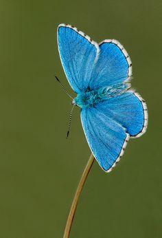 ~~Adonis Blue Butterfly ~ Polyommatus bellargus | by Alex Berrymam~~