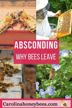 Absconding bees - Why to bees leave ? Especially frustrating to new beekeepers is finding their colony empty overnight ! via @https://www.pinterest.com/carolinahoneyb