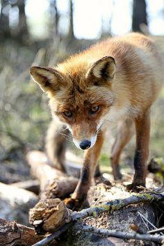 Checking things out  #fox #red_fox #Vulpes_vulpes
