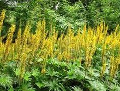 LIGULARIA przewalskii - Aksbrandbæger, farve: gul, lysforhold: sol/halvskygge, højde: 150 cm, blomstring: juli - august.