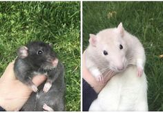 These boys are coming home with me Saturday!! Can't wait!! (2 months and 3 months old) #aww #cute #rat #cuterats #ratsofpinterest #cuddle #fluffy #animals #pets #bestfriend #ittssofluffy #boopthesnoot