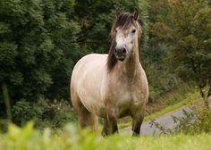 Pferdezucht - Deutsche Ponyzucht - Ponyrassen - Highland Pony