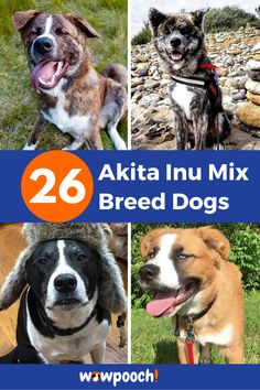 26 #Akita #Inu #Mix #Breed #Dogs. List Of #Akita #Inu #Mix #Breed #dogs #Akihoula – (Catahoula Big Dog Little Dog, Big Dogs, Bernese Mountain Dog Mix, Most Cutest Dog, Pet Shed, Dog Crossbreeds, Wild Animals Pictures, Dog Information, Dog Mixes
