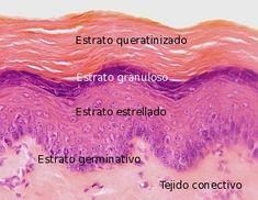 epitelio estratificado plano queratinizado