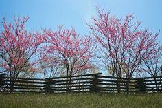 Bright redbuds along a split rail fence. Cross Country Jumps, Split Rail Fence, Natchez Trace, Spring Time, Scenery, Bright, Photography, Photograph, Landscape