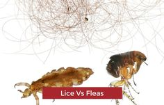 lice vs flea size comparison