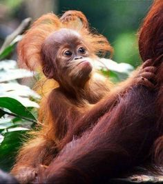 funny, Orangutan baby