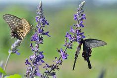 Two swallowtail butterflies | by myu-myu