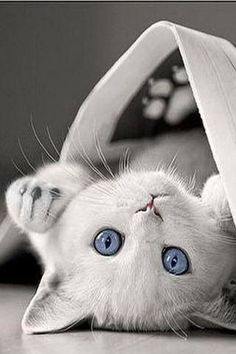 White with blue eyes❤️