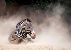Great shot captured by Liz McAvoy #sandiegozoo #zebra