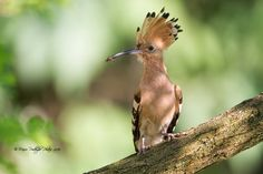 Crunchy catch! Hoopoe (Upupa epops) with a small insect in its bill, Bergamo, Italy. ©Mario Poddighe