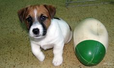 Images/jack Russell terriers | Jack Russell Terrier - Welpen - 100% top australische Linie. Insertion ...