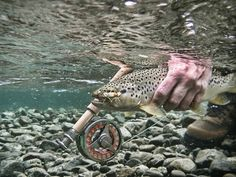 Nice brown of the Manso river. A photo take by my friend-guide Lucky bacci, retouched by me. - GFFpix - share your best flyfishing pictures - Global FlyFisher Fly Fishing Gear, Gone Fishing, Trout Fishing, Fishing Tips, Fishing Lures, Fishing Apparel, Fishing Box, Fishing Basics, Fishing Videos