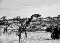 Giraffes In Black And White  Photograph