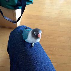 My blue bird ! ボン(膝の上から、、) #bird #bluebird #parakeet #bluejean #life #bon #torimizuki