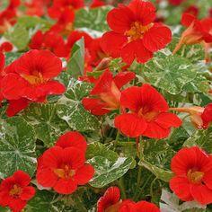 'ALASKA SCARLET' Nasturtium Seeds: Bright scarlet red flowers, variegated white & green leaf ... 25 Seeds/3$