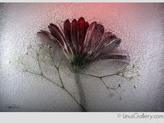 Check out this amazing contemporary art! Artist Mo Devlin was accepted for the Botanicals 2015 Call for Artists Juried Exhibition at this art gallery in Los Angeles. Flower Photography, Fine Art Photography, Nature Photography, Botanical Art, Flower Art, Frost, Photo Ideas, Cool Photos, Contemporary Art