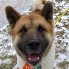 #FOUNDDOG 1-23-14 #VALLEYVIEW #OH Keely  5 year old  #Akita male.  independent but sweet guy!  So excited to get outside that he turned in circles on the way. He likes to hug to show how happy he is to be with you. kennel #41. -   http://cuyahogadogs.com/en-us/DogDetails.aspx?id=8bR%2BEw0MyL9rC82Q5rRwl63DuZpmNsdznRm1nEDNn7CfcALc4LF0Gw%3D%3D#sthash.0vXVlCeq.cFEzOPgg.dpuf  9500 Sweet Valley Drive Valley View, Ohio 44125 216-525-7877