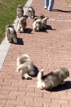 Cute Little Dogs, Cute Baby Dogs, Cute Funny Dogs, Cute Dogs And Puppies, Cute Baby Animals, Funny Animals, Alaskan Malamute Puppies, Malamute Dog, Scary Dogs