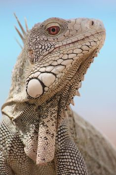 Iguana of some sorts