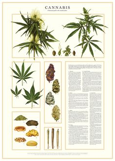 CANNABIS – a botanical guide on Behance