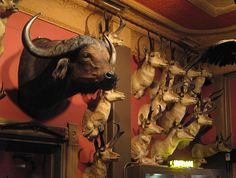 Taxidermy & handsome colors in Denvers oldest restaurant the Buckhorn Exchange -