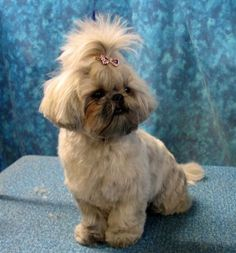 Shih Tzu. Reminds me of Gus.