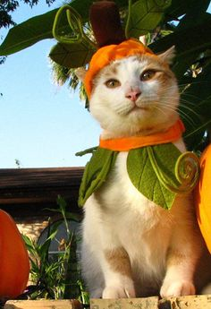 Halloween marks the beginning of the holiday season for us humans, but did you know that next to the of July, Halloween is the most dangerous time of year for our pets? Cute Kittens, Cats And Kittens, Crazy Cat Lady, Crazy Cats, Cat Dressed Up, Pet Costumes, Halloween Costumes, Halloween Dress, Pumpkin Costume