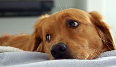 Dicas para proteger seu cão dos fogos de artifício - Pets Fogos de artifício - Cães fogos de artifício - Cachorros fogos de artifício - Animais de Estimação fogos de artifício - Animal de Estimação fogos de artifício - Cachorro Cão Cães - PET Animais de Estimação - PET Animal de Estimação - Cão fogos de artifício