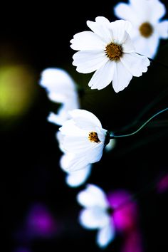 White cosmos.  I've taken and developed so that the dark background.  Off-season soon?
