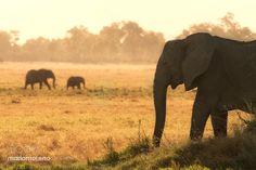 Musiara Elephants by mariomoreno #animals #animal #pet #pets #animales #animallovers #photooftheday #amazing #picoftheday