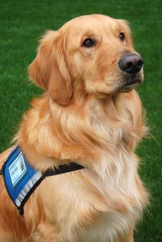 Irish, one of the Betty Ford Center therapy dogs. #animals #pet. Unconditional love: http://www.pinterest.com/newdirectionsbh/unconditional-love/