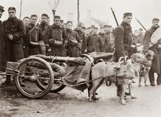 Dog-drawn gun carriages used by Belgian troops to transport machine guns on the Western Front, December 1914