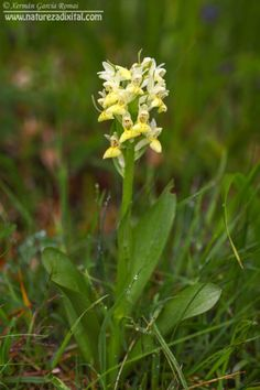 Dactylorhiza cantabrica, Courel