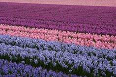 hyacinth fields in Holland - can you imagine how wonderfully intoxicating the scent would be