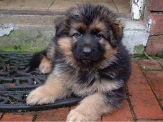 https://www.facebook.com/German.Shepherd.Dogs.Australia/photos_stream