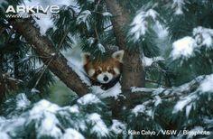 Red panda in tree http://www.arkive.org/red-panda/ailurus-fulgens/image-G111399.html