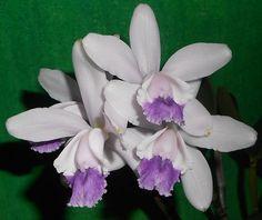 Cattleya intermedia var. coerulea | by ak.sky13