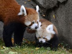 Tofu, a newborn red Panda, is shown with mom Ta-Shi, at the Detroit Zoo