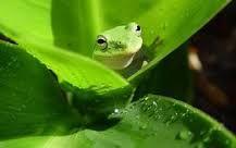 Bildresultat för grön groda