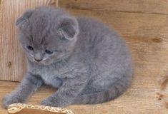 Scottish fold kittens - 22 Photo (18)