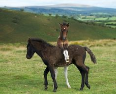 Twins. Black and Bay Tobiano