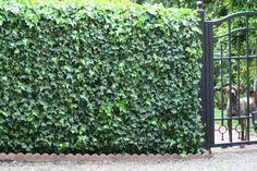 Our German Short Hair Pointer peeking from Garden Side English Tudor, Santa Clara, Short Hair, German, Cottage, Outdoor Structures, Plants, House, Deutsch