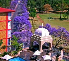 The jacaranda tree, which is native to Mexico, Caribbean and South America is a beautiful flowering tree with vivid lilac-blue.