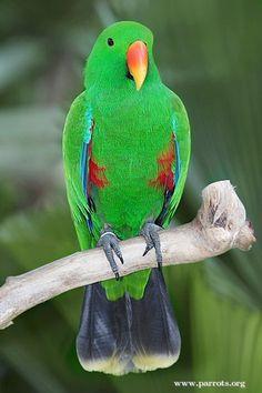 eclectus parrot | Eclectus | Parrot Pictures
