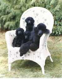 Trio of black Standard Poodles