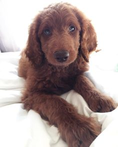 Molly the Goldendoodle ❤️❤️❤️ 9 weeks old!