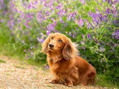 Red miniature long haired Dachshund available for stud. Dachshund Shirt, Dachshund Puppies, Dachshund Love, Pet Dogs, Pets, Dogs And Puppies, Dachshund Quotes, Wiener Dogs, Chihuahua Dogs