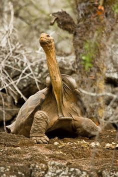 #PinUpLive - Giant Tortoise in GalapagosbyAaronPlotkinPhoto