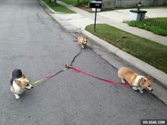 Self walking corgies.